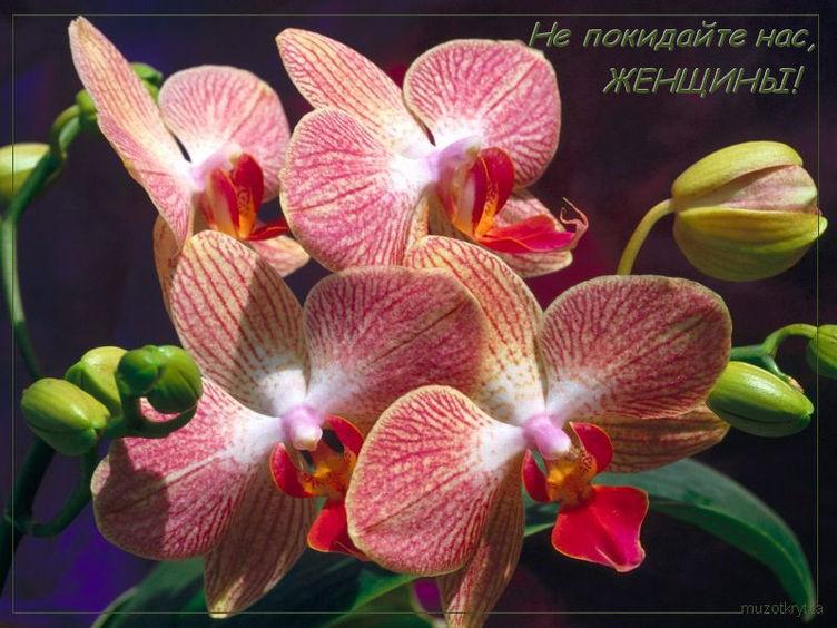Музыкальное поздравление к 8 марта,открытка музыкальная от muzotkrytka.narod.ru,Не покидайте нас женщины,красивая открытка с 8 марта,орхидеи.