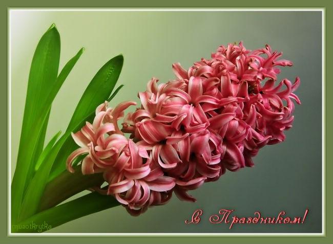 открытка на 8 марта,красивый гиацинт